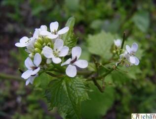 Tibbi aromatik kokulu boyacilikta kullanilan çok çesitli bitkiler